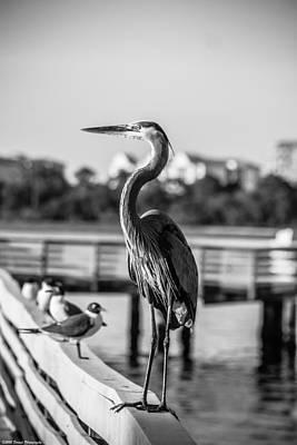 Panama City Beach Photograph - Bw Friendly Heron by Debra Forand
