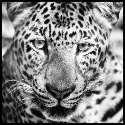 Bw Leopard Art Print