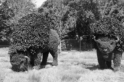 Gatineau Park Photograph - Bw Of Grazing Buffalo 2 by Bob Corson