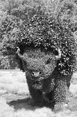 Gatineau Photograph - Bw Of Grazing Buffalo by Bob Corson