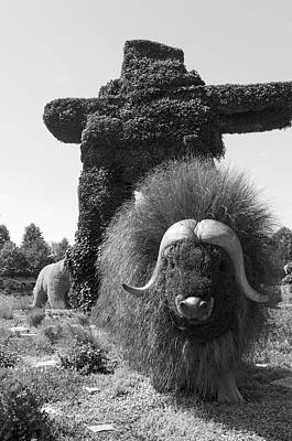 Gatineau Photograph - Bw  Of Northwest Territories Entry The Muskoxen by Bob Corson