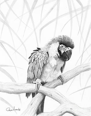 Drawing - Bw Parrot by Phyllis Howard