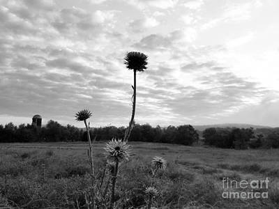 Photograph - Bw Thistle  by Maria Urso