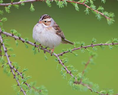 Photograph - C C Sparrow by Gerry Sibell