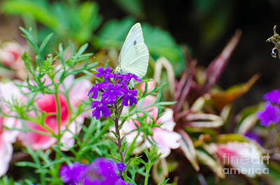 Photograph - Cabbage Butterfly by Donna Brown