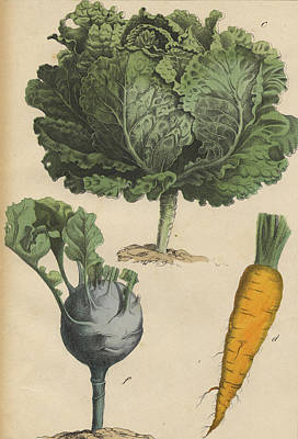 Cabbage Drawing - Cabbage Carrot Kohlrabi by German Botanical Artist
