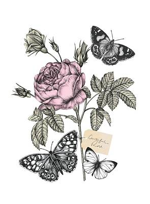 Insects Drawing - Cabbage Rose by Stephanie Davies