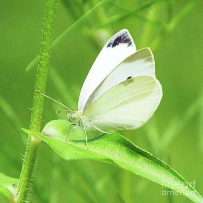 Photograph - Cabbage White 1 by Lizi Beard-Ward