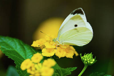 Cabbage White Butterfly Art Print by Betty LaRue