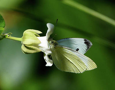 Photograph - Cabbage White Butterfly Feeding  by Margaret Saheed