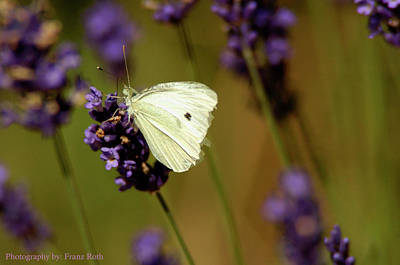 Photograph - Cabbage White Butterfly by Franz Roth