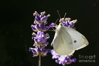 Photograph - Cabbage White Butterfly On Lavender by Inge Riis McDonald