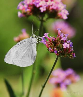 Photograph - Cabbage White Butterfly On Verbena by Chris Berry
