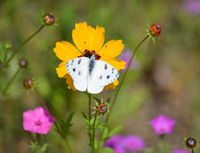 Photograph - Cabbage White Butterfly - Pieris Rapae by rd Erickson
