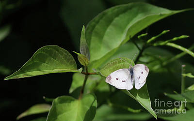 Photograph - Cabbage White by Debbie Parker