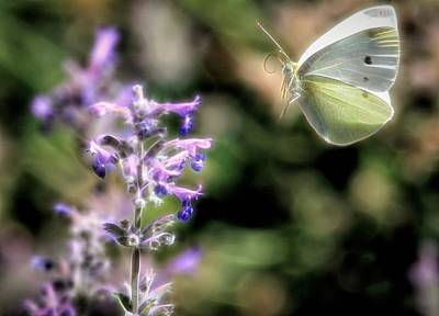 Photograph - Cabbage White In Flight by Donna Kennedy