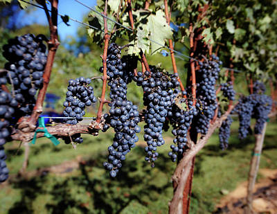 Wine Grapes Photograph - Cabernet Sauvignon On The Vine by Chuck Spang