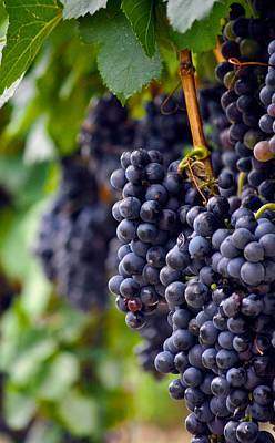 Photograph - Cabernet Wine Grapes by Kristina Deane