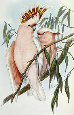 Cockatoo Drawing - Cacatua Leadbeateri by John Gould