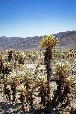 Photograph - Cacti In Joshua Tree National Park by Kathleen Scanlan