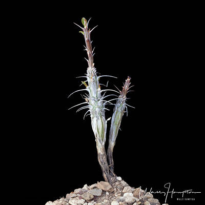 Photograph - Cactus - 0528,s by Wally Hampton