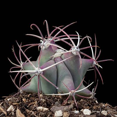 Photograph - Cactus - 0542,s by Wally Hampton