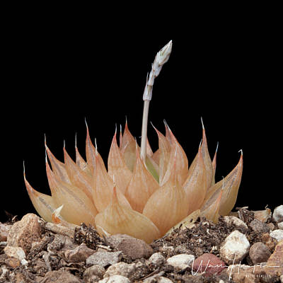 Photograph - Cactus - 0548,s by Wally Hampton