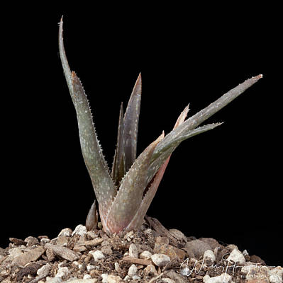 Photograph - Cactus - 0557,s by Wally Hampton