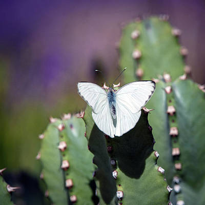 Photograph - Cactus And Butterfly by Catherine Lau
