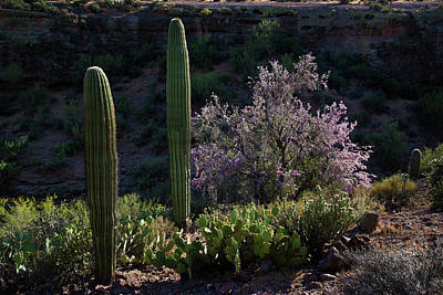 Photograph - Cactus And Ironwood Blossoms In The Spring by Dave Dilli