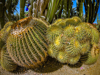 Photograph - Cactus Balls 2 by Mark Perelmuter