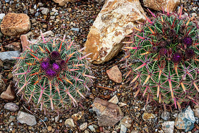Photograph - Cactus Beauties by David Levin