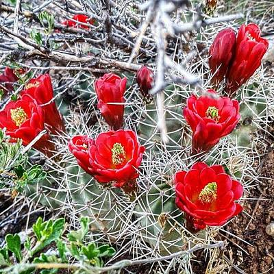 Bloom Photograph - Cactus Bloom In Colorado #cactus #bloom by Joan McCool