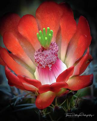 Photograph - Cactus Bloom by Thomas Pettengill