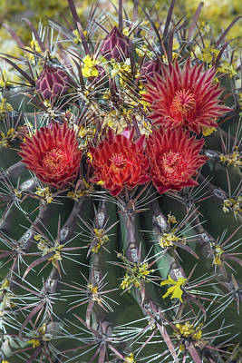 Photograph - Cactus Blooms 6496-041818 by Tam Ryan
