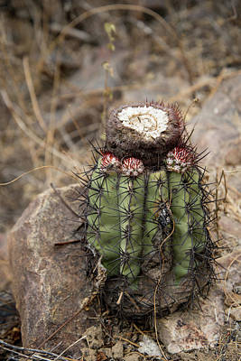 Digital Art - Cactus by Carol Ailles