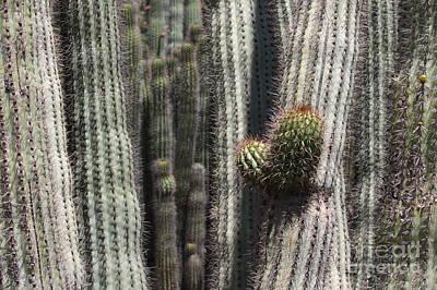 Photograph - Cactus Columns by Carol Groenen