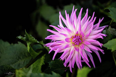 Photograph - Cactus Dahlias Named Violetta by Torbjorn Swenelius