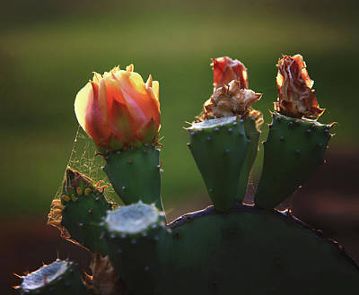 Photograph - Cactus Fading by Toni Hopper