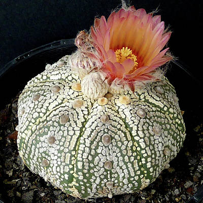 Photograph - Cactus Flower 4 by Selena Boron