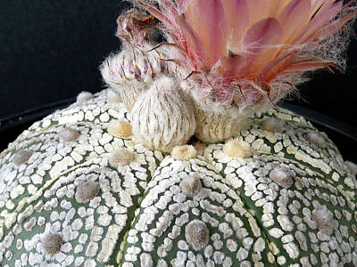 Photograph - Cactus Flower 6 by Selena Boron
