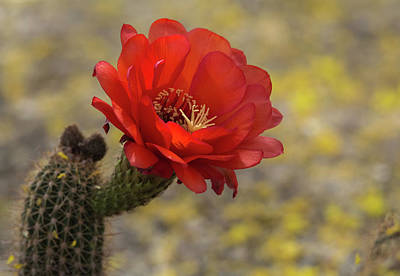 Photograph - Cactus Flower 7601-042618-1cr by Tam Ryan