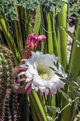 Photograph - Cactus Flower 7672 by Tam Ryan