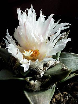 Photograph - Cactus Flower 8 by Selena Boron