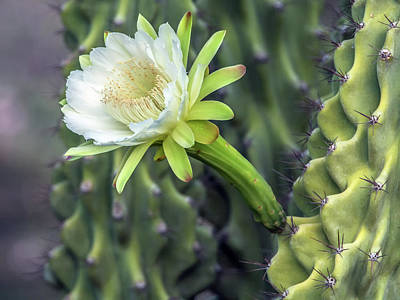 Photograph - Cactus Flower 8309 by Tam Ryan