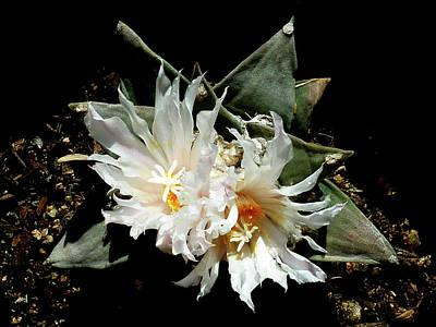Photograph - Cactus Flower 9 2 by Selena Boron