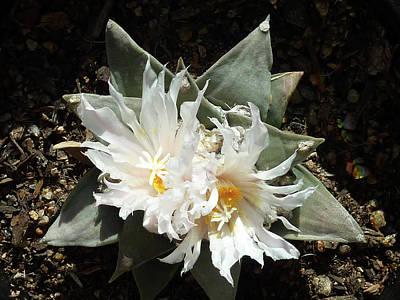 Photograph - Cactus Flower 9 by Selena Boron