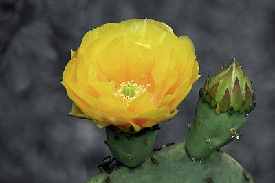 Photograph - Cactus Flower And Bud by Cathy Harper