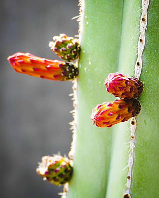 Photograph - Cactus Flower Buds by Laurel Powell