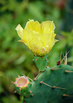 Photograph - Cactus Flower by Chris Coffee